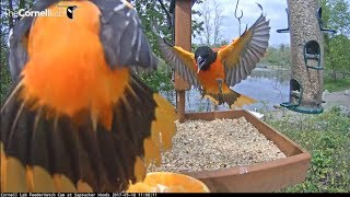 Download Baltimore Orioles Compete For Camera Time – May 18, 2017 Video