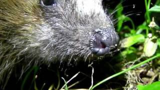 Download European Hedgehog - Braunbrustigel - Erinaceus europaeus Video