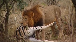 Download Lions Documentary - 'THE KINGS OF THE AFRICAN JUNGLE' Video