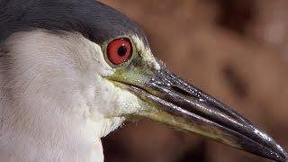 Download Smart Heron Used Bread To Fish | Super Smart Animals | BBC Earth Video