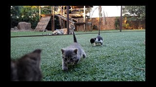 Download Tigers just loves watching the kittens eat! Video