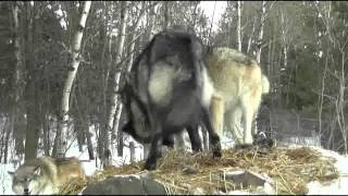 Download International Wolf Center 11 January 2013 - Tier Evaluations and Ethogram Terms Video