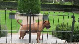 Download Boerboel - South African Mastiff (29 Months) - Guard & Protect Video