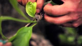 Download Growing History propagates Magnolia × soulangeana Video