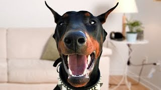 Download Funny Doberman Dog Compilation NEW Video