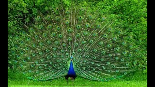 Peacock Sound flv Free Download Video MP4 3GP M4A - TubeID Co