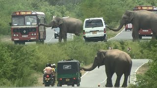 Download Huge Wild elephant waiting for food ! Video