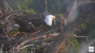 Download AEF NEFL Eagle Cam 1-15-20: Highlights of Egg Laying / Samson Sees Egg Video