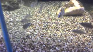 Download What fish can you have with a guppies! Video
