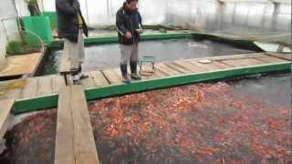 Download Niigata Japan Koi Fish Farm Tour - Breeder: Otsuka Koi Farm Video