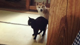 Download 愛犬を部屋からおびき出す方法 How to lure my dog out from the room Video
