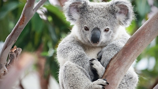Download Cute Koalas Playing 🐨 Funny Koala Bears [Funny Pets] Video