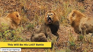 Download Epic Final Battle of the Lion King in Kruger Park Video
