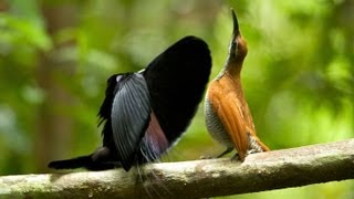 Download Magnificent Riflebird Video