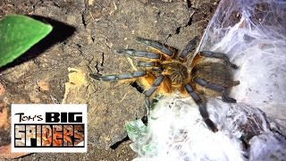 Download H. pulchripes (Golden blue foot baboon) Update and Care Video