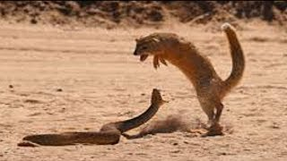 Download Lion, Mongoose Fight Snake Video