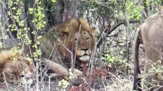 Download 3 lions hunt at Kruger Park Video