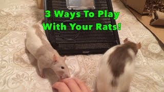 Download How to Play with your Rats - 3 Ways to Engage and Interact! Video