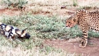 Download Wild Dogs vs Cheetah Standoff Over a Kill Video