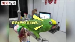 Download 鸚鵡唱老歌榕樹下 唱出精髓抖音 Video