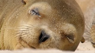 Download Sharing a beach with baby sea lions - Galápagos: Islands of Change - Natural World - BBC Two Video