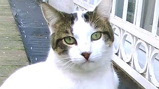 Download やんちゃな猫がメンバーに!おちびと万千代とお散歩に行く 前編 元保護猫を探せ! Video