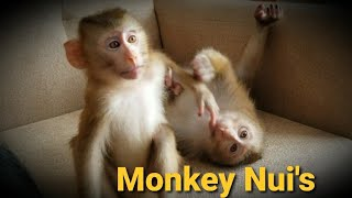 Download Monkey Baby Nui | Nui brought Mimi home to play Video