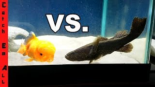 Download NINJA FISH Vs GOLDFISH! Video