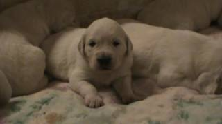 Download Jelly and Axil's 3 week old white, english cream golden retriever puppies! Video