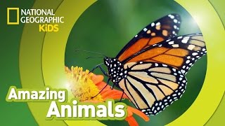 Download Monarch Butterfly | AMAZING ANIMALS Video