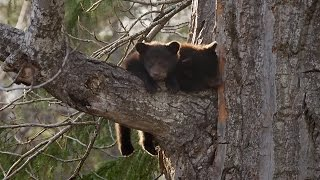 Download Black Bear Cubs Climbing Down Tree | Wild Alaska | BBC Earth Video