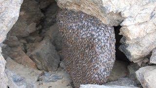 Download جَنِيَ العسل البري الجبلي Video