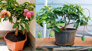 Download Multi Rootstock grafting on mango tree.. Video