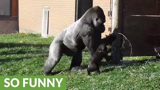 Download Rowdy baby gorilla gets disciplined by dad Video