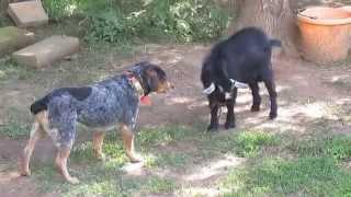 Download Billy Goat vs Dog Video