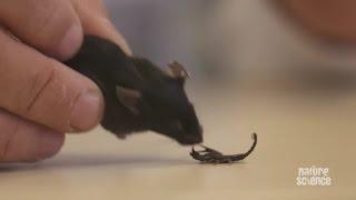 Download Scaring scorpions makes them more venomous Video