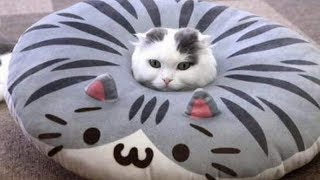 Download Very FUNNY CATS - Super HARD TRY NOT TO LAUGH challenge Video