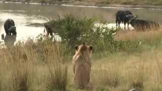 Download Lions vs. Buffaloes vs. Lions at Gowrie Dam March 8, 2015 Video