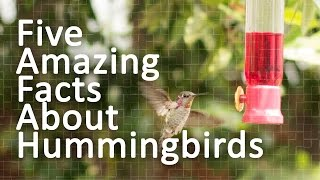 Download Five Amazing Facts About Hummingbirds Video