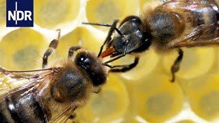 Download Rettung für unsere Bienen? Ein Forscher macht Hoffnung für die Zukunft   45 Min   NDR Video