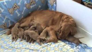 Download Golden Retriever Puppies - 5 days old Video