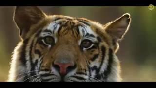Download Bandhavgarh National Park And Tiger Reserve | MP Tourism Video