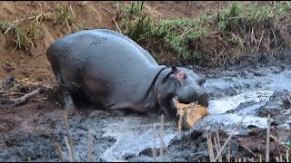 Download Angry Hippo Crushes Antelope: SNAPPED IN THE WILD Video