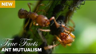 Download True Facts : Ant Mutualism Video