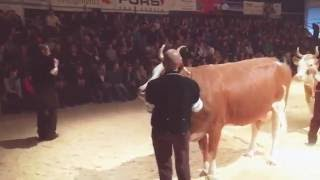 Download 3. Frutigtaler Eliteschau: Misswahlen Simmental Video
