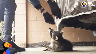 Download Man Rescues Raccoon Choking From Car Tarp | The Dodo Video