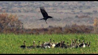 Download Ворон охотится на гусей и стрепетов! Video