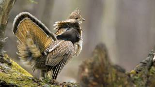 Download Voices: Ruffed Grouse Video