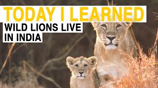 Download TIL: These Are the Only Wild Lions Outside of Africa | Today I Learned Video