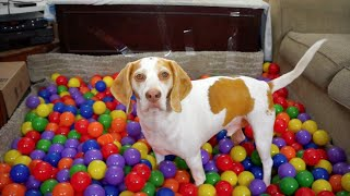 Download Best Dog Birthday Surprise: DIY Ball Pit for Maymo Video